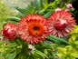 "Mobile Preview: Strohblume ""Red"" Helichrysum bracteatum"