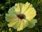 "Preview: Schmuckkörbchen ""Yellow Sunset"" - Cosmos bipinnatus"