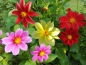 Preview: Dahlien MIX -  Dahlia hybrida