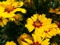 Mobile Preview: Mädchenauge - Coreopsis grandiflora 'Sonnenkind'