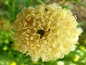 Preview: Scabiosa Morgana Yellow - Scabiosa atropurpurea