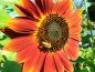 "Mobile Preview: Sonnenblume ""Mahagony""- Helianthus annuus"
