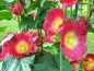 "Mobile Preview: Gewöhnliche Stockrose HS - Alcea rosea ""Red Rainbow"""