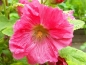 Mobile Preview: Stockrose - Alcea rosea