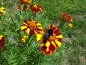 Preview: Tagetes - Tagetes patula