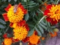 Preview: Tagetes patula -