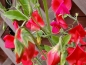 Preview: Duftwicke 'Deep Red' - Lathyrus odoratus
