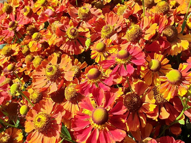 "Herbst-Sonnenbraut - Helenium autumnale ""Indian Summer"""