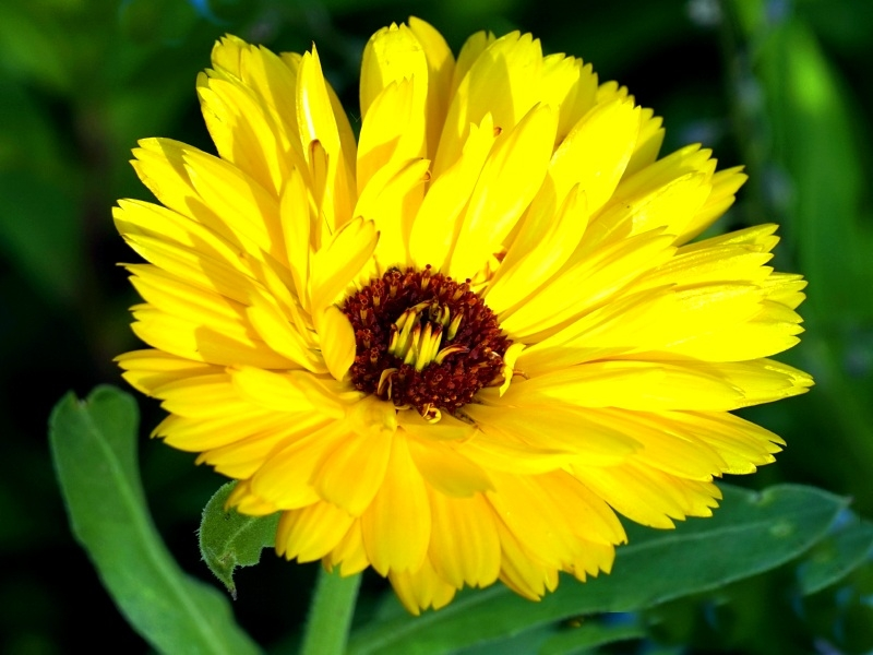 "Saatgut Ringelblume ""Yellow with Dark Centre"" - Calendula officinalis"