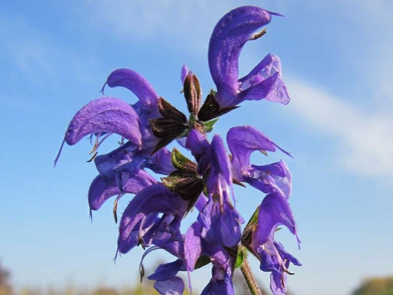 Echter Salbei - Salvia officinalis