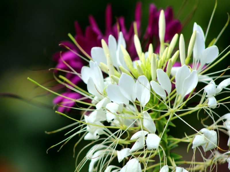 Spinnenblume - Cleome hassleriana 'White Queen'