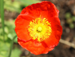 Islandmohn Monarch MIX - Papaver nudicaule